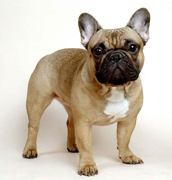 French Bulldog.
