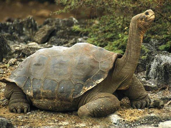 Galápagos giant tortoise (Chelonoidis nigra)