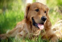 Photo of Golden Retriever – the most beautiful dog