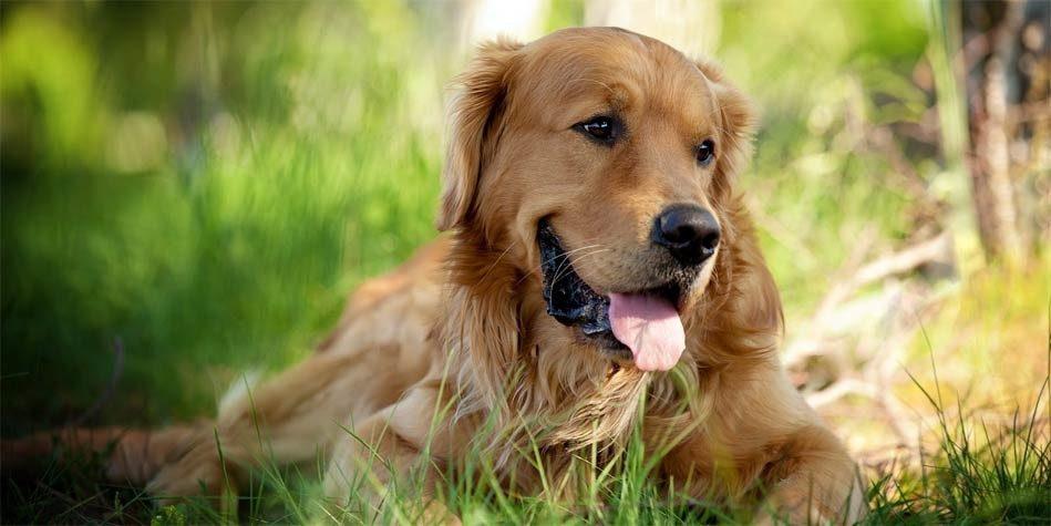 Golden Retriever The Most Beautiful Dog DinoAnimalscom - Golden retriever obedience competition fail