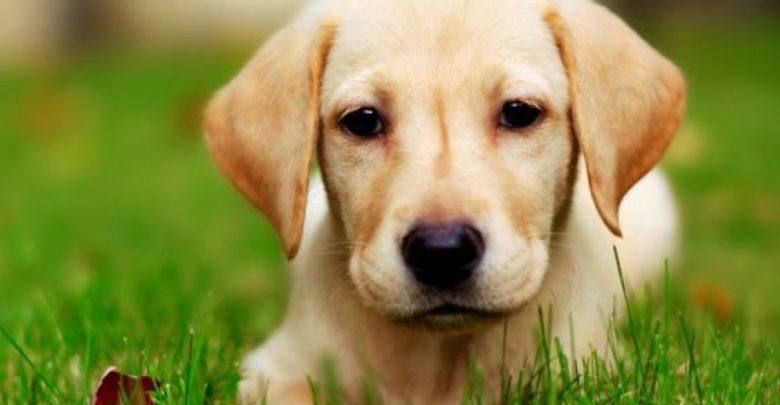 Photo of Labrador Retriever – true adventurer