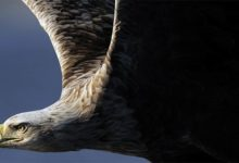 Photo of White-tailed eagle (Haliaeetus albicilla)