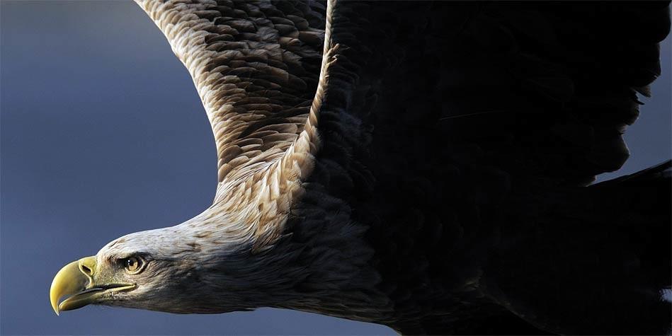 Photo of White-tailed eagle (Haliaeetus albicilla)