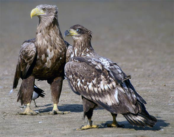 White-tailed eagles (Haliaeetus albicilla)