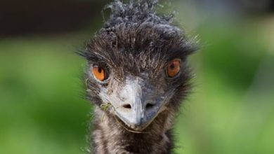Photo of Emu – flightless birds