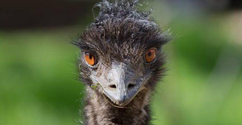 Photo of Emu – flightless birds
