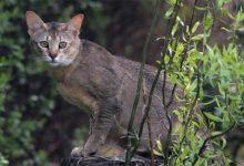 Photo of Chausie – intelligent and active cat