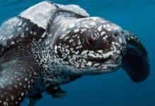 Photo of Leatherback sea turtle – the largest turtle