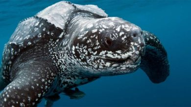Photo of Leatherback sea turtle – the largest turtle