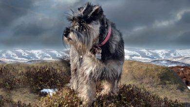 Photo of Miniature Schnauzer – a loyal dog