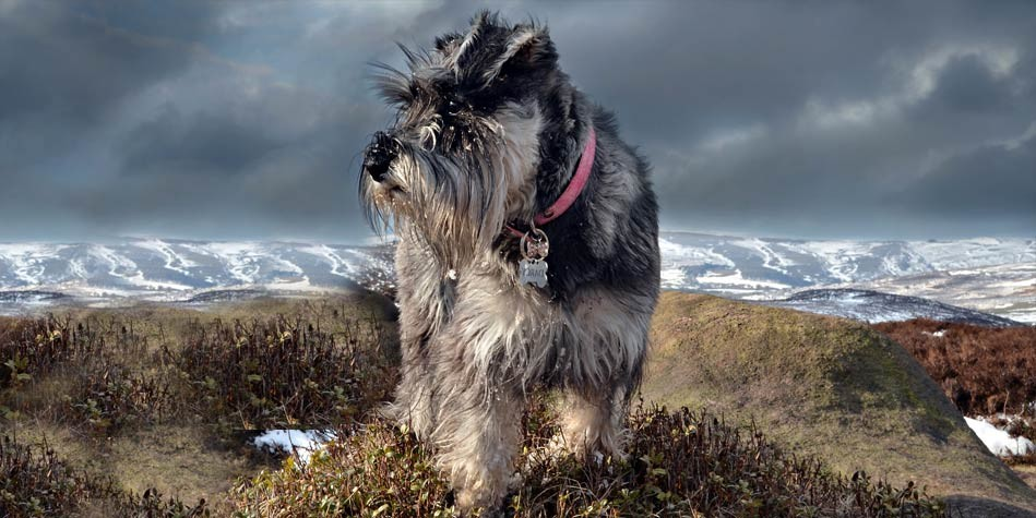 Photo of Miniature Schnauzer – a loyal dog