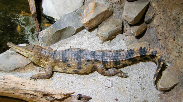 Slender-snouted crocodile (Mecistops cataphractus)
