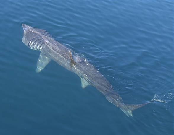Basking shark (Cetorhinus maximus)