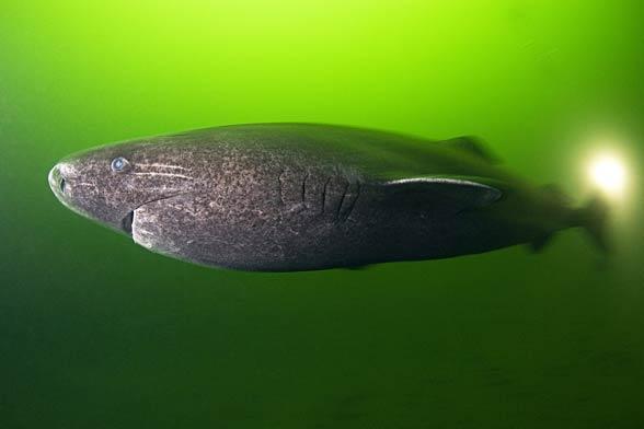 Greenland shark (Somniosus microcephalus)