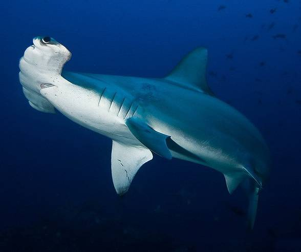 Hammerhead shark - fish with exceptional head ...