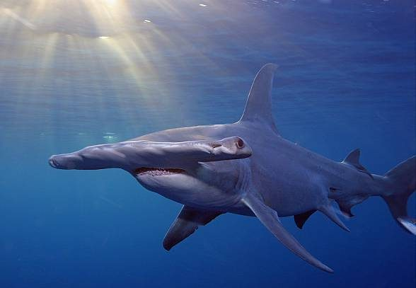 The smooth hammerhead (Sphyrna zygaena) can be even 5 m long.
