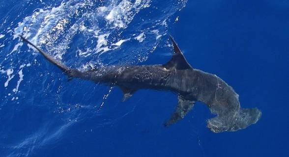 The smooth hammerhead shark (Sphyrna zygaena) migrates depending on the season.