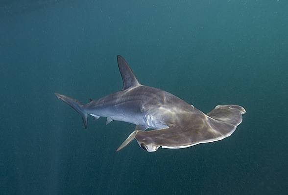 Females of the smooth hammerheads can reproduce by parthenogenesis, i.e., without a male's involvement
