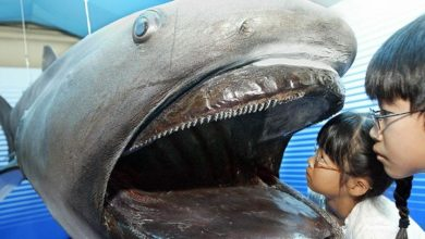 Photo of Megamouth shark – deepwater shark