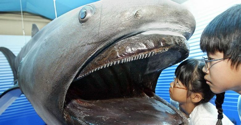 Photo of Megamouth shark – deepwater shark