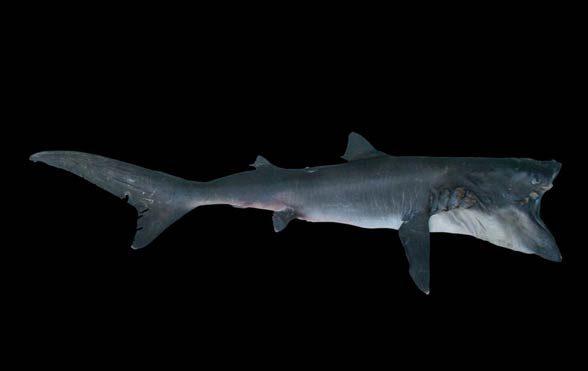 Megamouth shark (Megachasma pelagios)