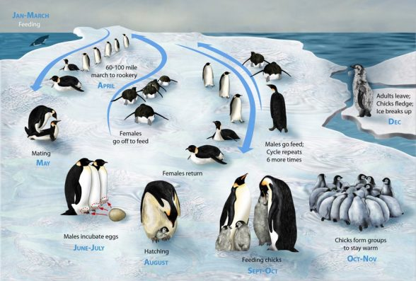The cycle of penguins' life
