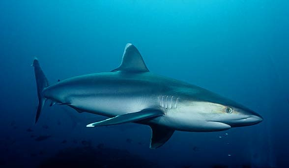 The silvertip shark (Carcharhinus albimarginatus)