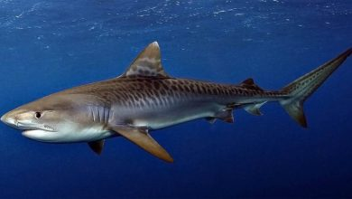 Photo of Tiger shark – one of the most dangerous sharks