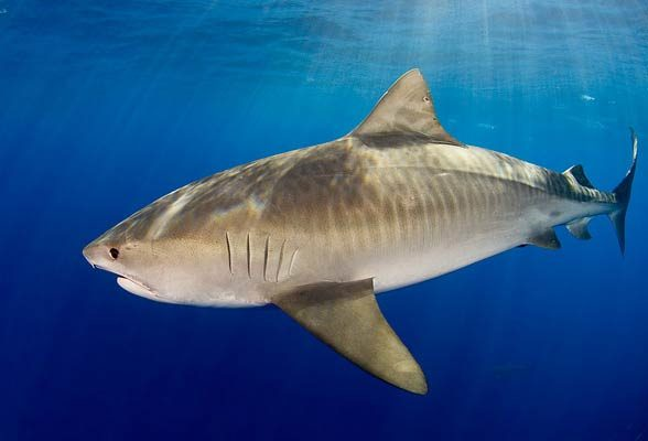 Tiger shark - Sea Tiger (Galeocerdo cuvier)