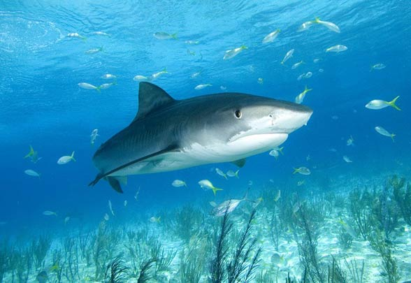 Tiger shark – one of the most dangerous sharks ...