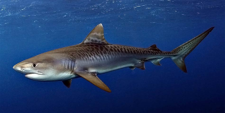 Tiger Shark One Of The Most Dangerous Sharks Dinoanimals Com