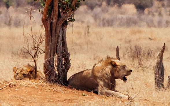 Tsavo lions and their reduced manes