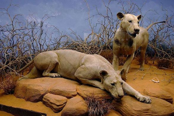 Tsavo lions - Chicago Field Museum of Natural History