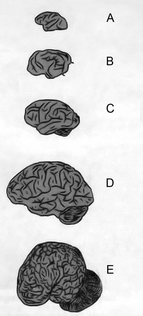 Brain size comparison: A- small monkey, B - dog, C- orangutan, D - human, E - dolphin.
