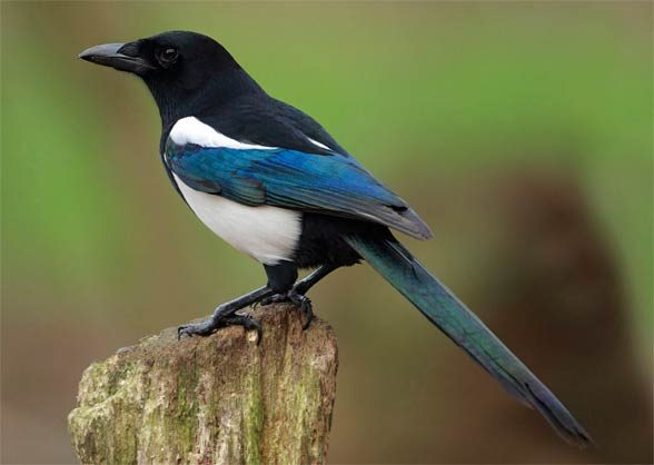 The common magpie is one of the most intelligent birds.