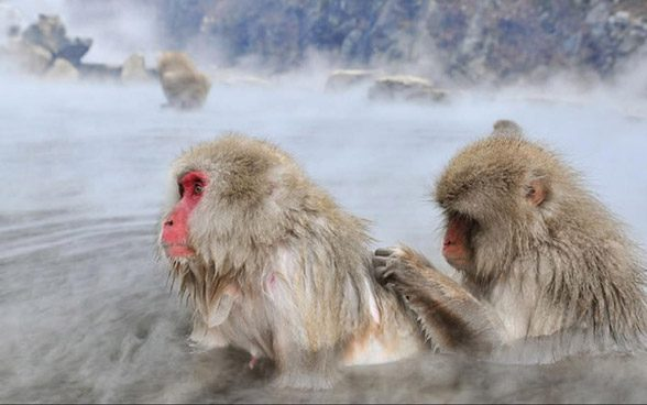 Japanese macaques learned to cope with freezing weather in winter by bathing in warm springs.