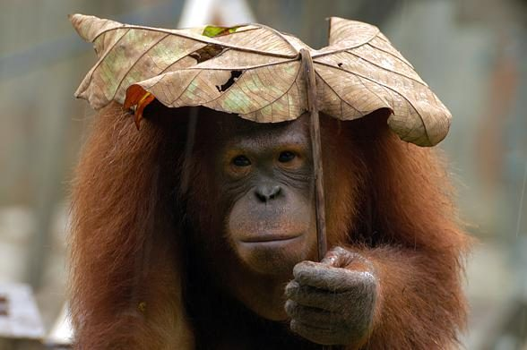ii.Orangutans are also very smart animals. The use tools for obtaining food, and leaves as umbrellas...