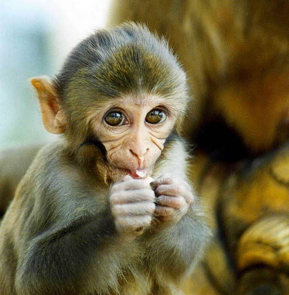 Rhesus macaque can easily adapt to various habitats.