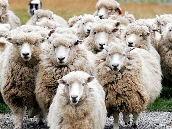 Sheep can visualize two- and three-dimensional images.