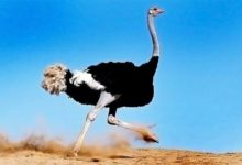 Photo of Ostrich – the biggest bird in the world
