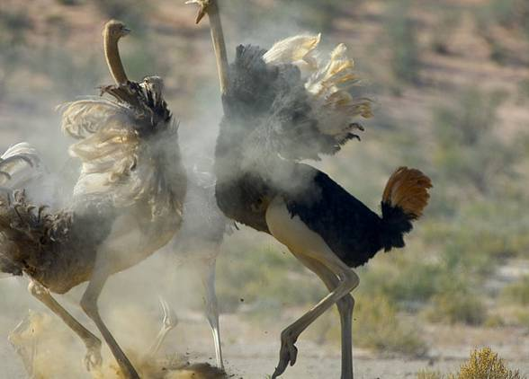 Fighting ostriches.