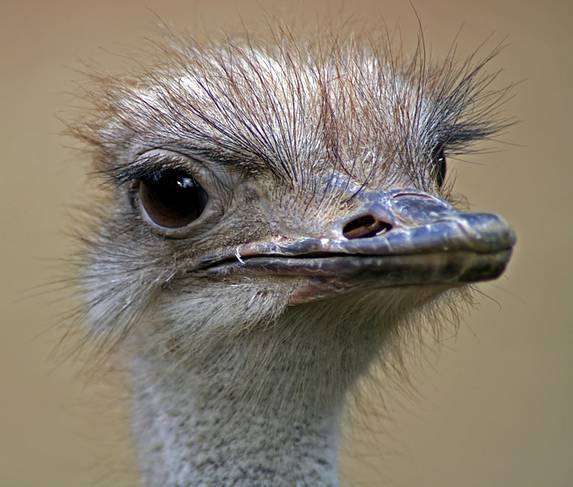 The diameter of the ostrich eye is 5cm- such eyes are the biggest out of all land animals