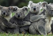 Photo of Koala – the marsupial which does not drink water