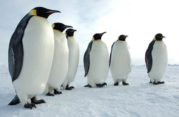 The Emperor Penguin The Biggest Penguin In The World