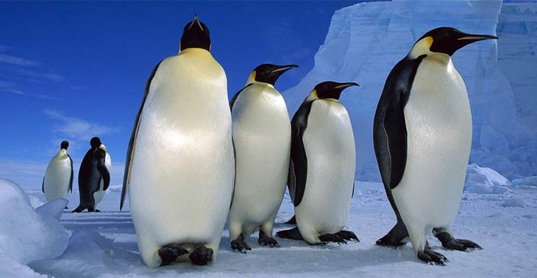 Photo of The emperor penguin – the biggest penguin in the world