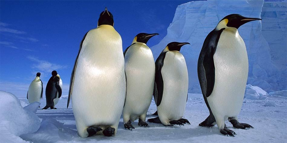 the emperor penguin � the biggest penguin in the world