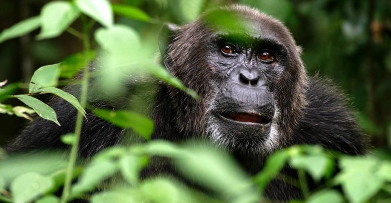 Photo of Bili apes – lion killers