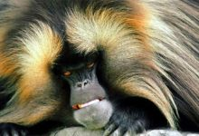 Photo of Gelada – bleeding-heart monkey