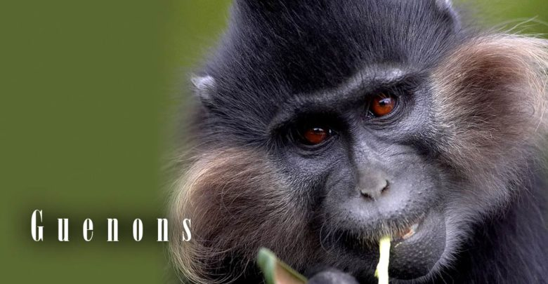 Photo of Guenons – parrots among primates