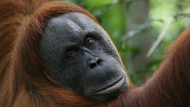 Photo of Orangutan – a forest man